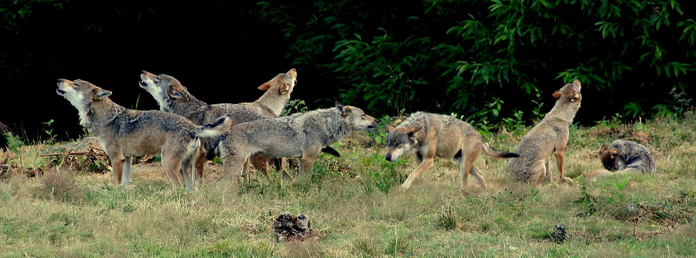 Bien-aimé Le loup gris européen | Loups de Chabrières HC34