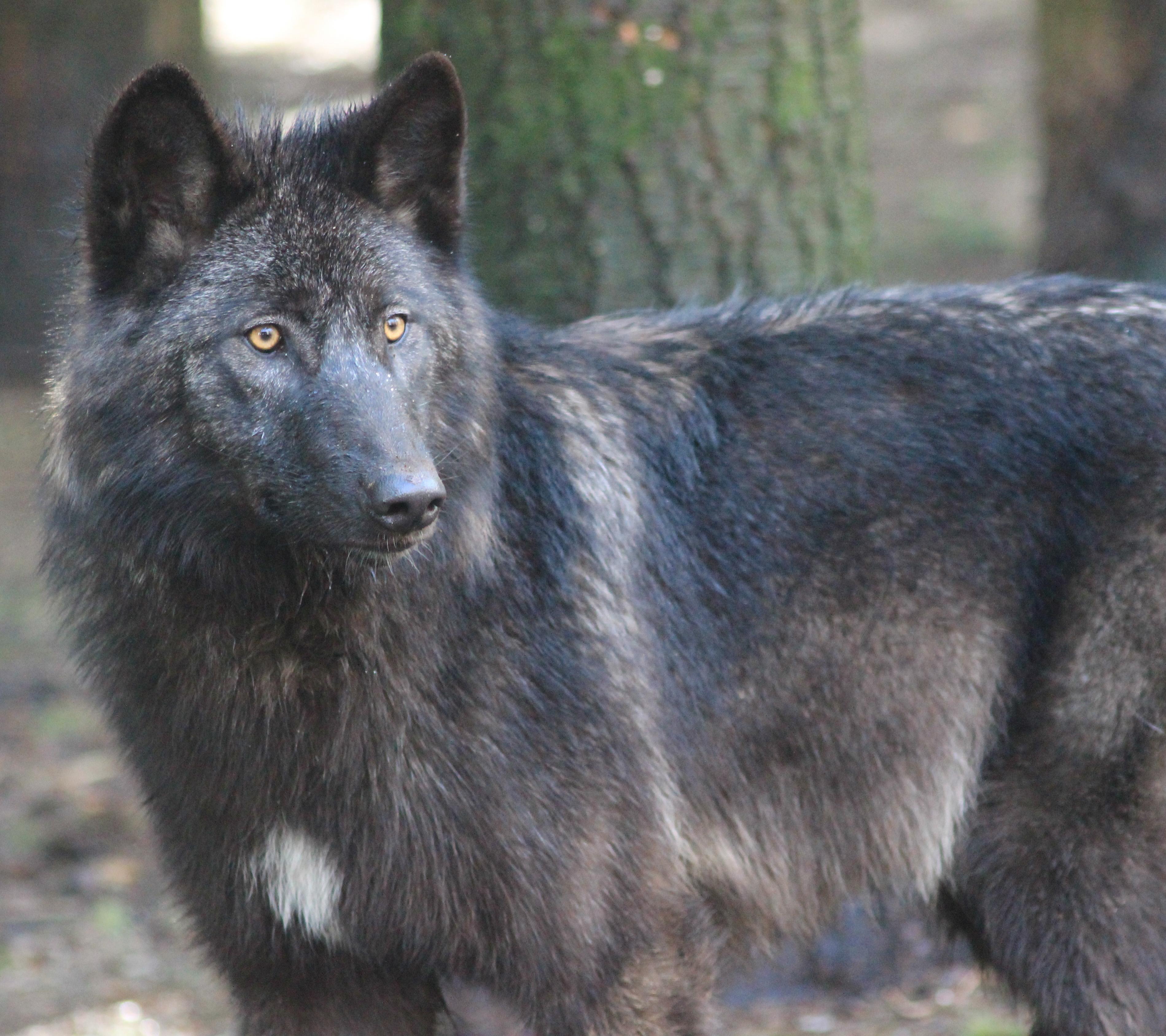 Le Loup Noir Du Mackenzie Loups De Chabri 232 Res